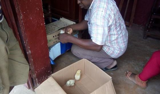 Sambava Éleveurs Distribution jeune poulet de chair